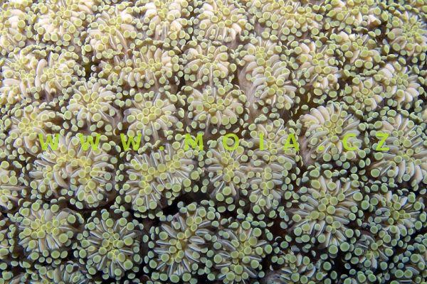 Euphyllia cristata - turbinatka hřebenitá
