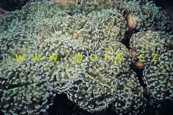 """Euphyllia paradivisa """"white tip"""" - turbinatka rozdělená"""