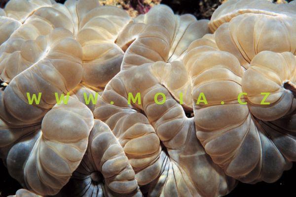 Nemenzophyllia turbida - turbinatka turbínková