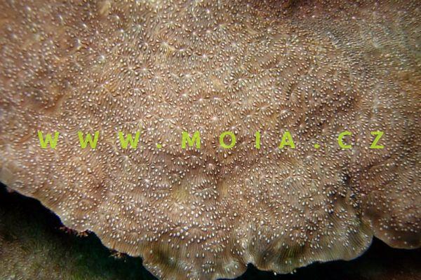 """Pavona explanulata """"green""""- houbovník přisedlý"""