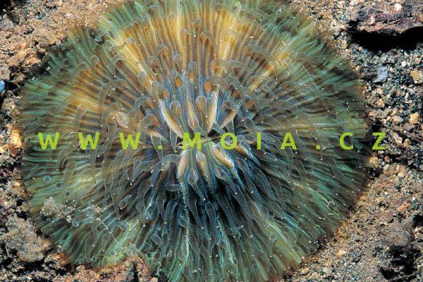 """Cycloseris hexagonalis """"green"""" – houbovník  hexagonální"""