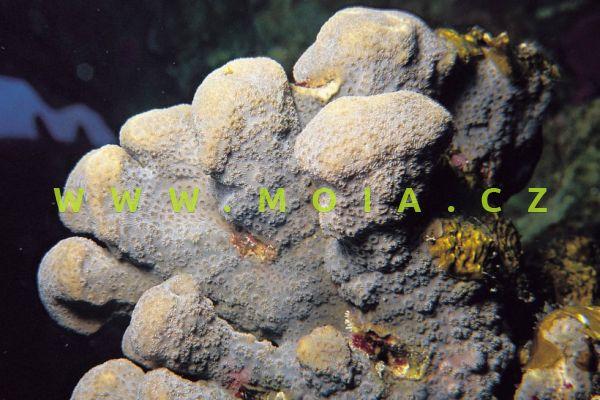 """Pavona maldivensis """"red"""" – houbovník přisedlý"""