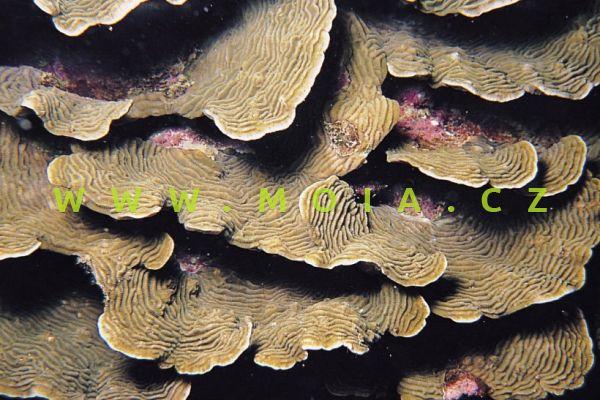 Pachyseris speciosa – houbovník deskový