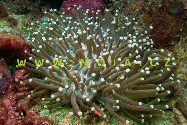 "Heliofungia actiniformis ""white tips"" – houbovník paprsčitý"