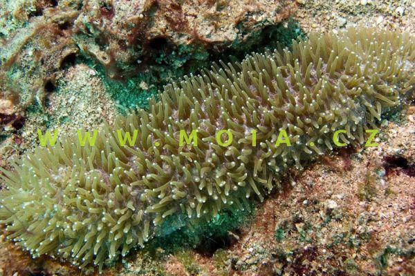 Polyphyllia talpina – houbovník krtčí