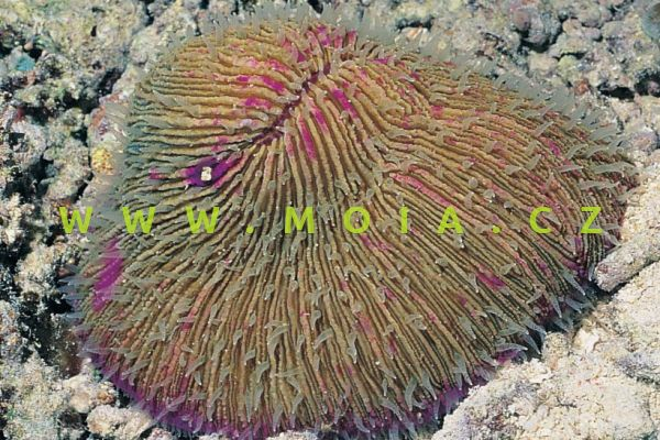 Fungia repanda – houbovník pilovitý