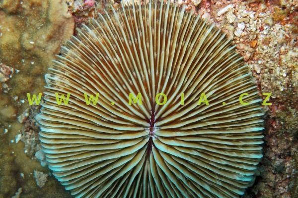 Fungia concinna  – houbovník   bronzový