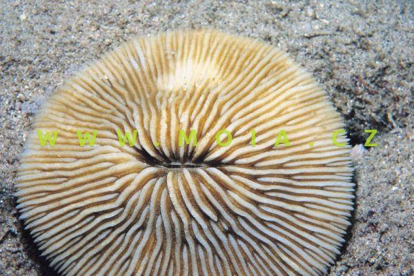 "Fungia granulosa ""color"" – houbovník zrnitý"