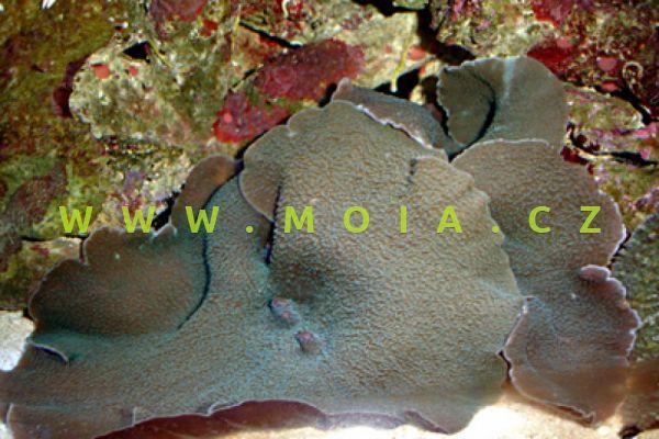 Rhodactis mussoides  – korálovník ušatý