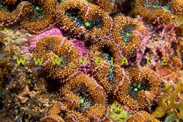 """Ricordea florida """"orange""""- korálovník floridský cena/polyp"""