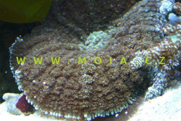 "Rhodactis inchoata ""bright green"" –  korálovník houbovitý"