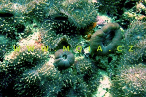 Rhodactis rhodostoma  – korálovník rudoústý