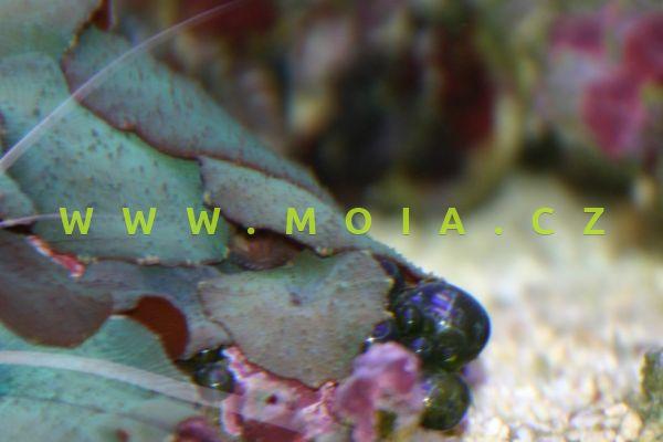 Discosoma coeruleus – korálovník