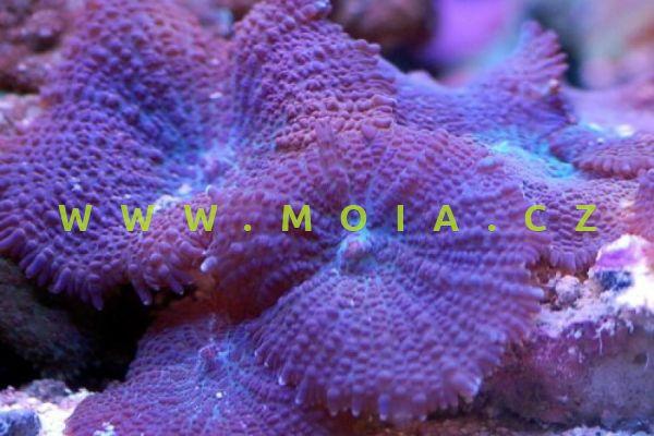 """Discosoma punctatus """"orange spoted"""" – korálovník flíčkovaný"""