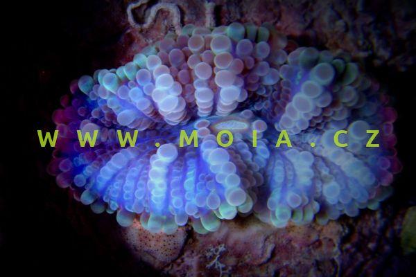 Ricordea yuma  – korálovník yuma