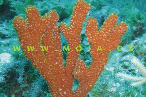 Ptilocaulis walpersi  - houba walpersova