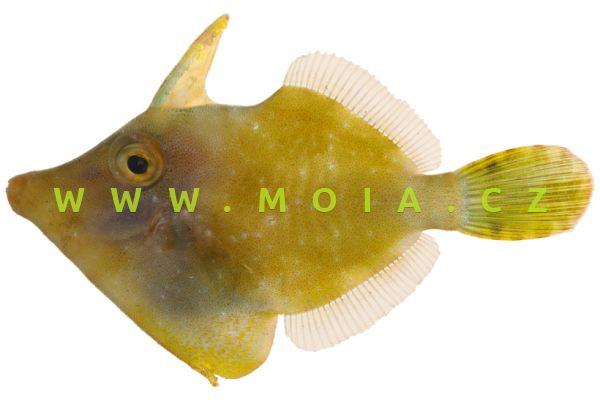Monacanthus ciliatus  - jednotrn běloskvrnný