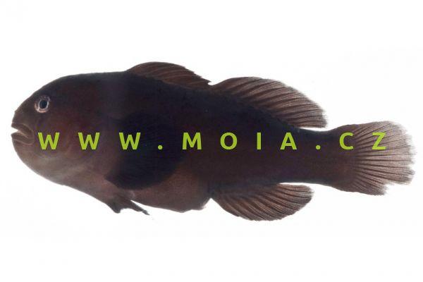 Gobiodon oculolineatus – hlaváč korálový