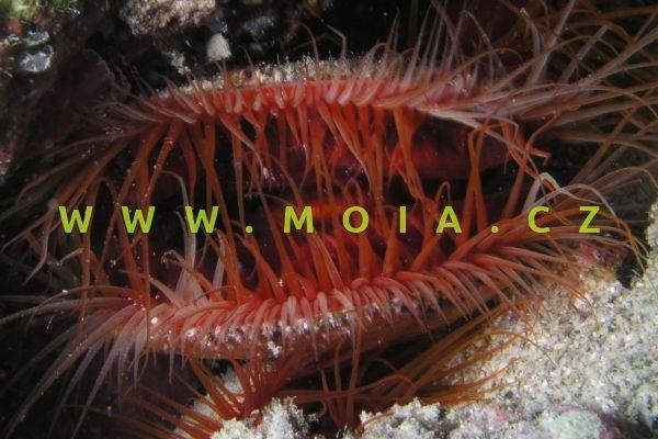 Ctenoides ales - zejovka   ohnivá