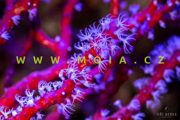 """Diodogorgia nodulifera """"red"""" - rohovitka uzlovitá"""