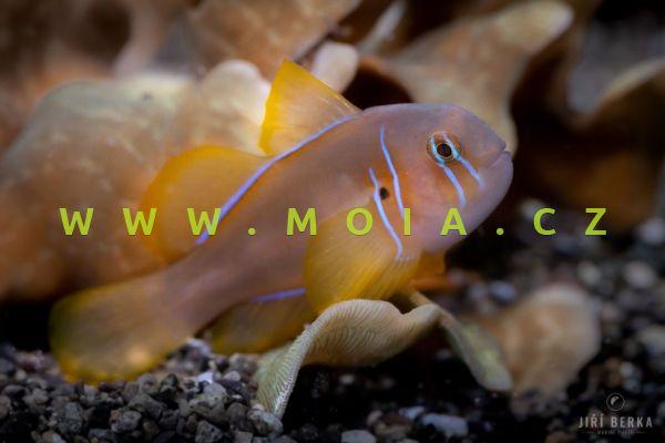 Gobiodon cf citrinus  – hlaváč korálový