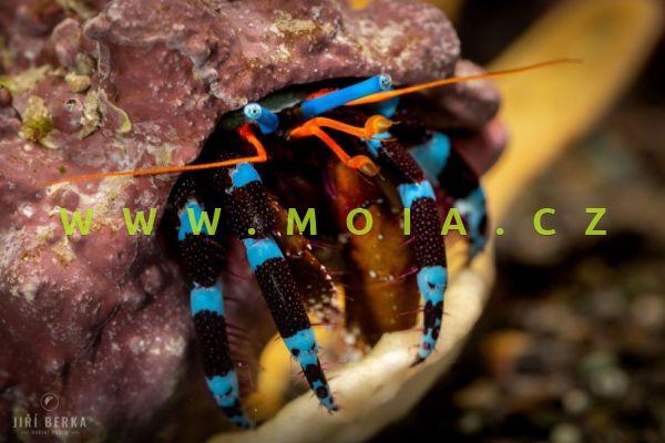Calcinus elegans - krab ozdobný