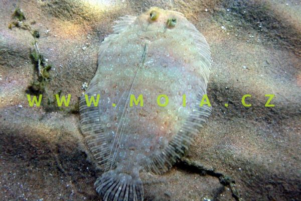 Soleichthys heterorhinos  – jazyk modrolemý