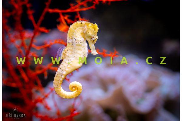 Hippocampus reidi  - koníček dlouhonosý - chovný pár