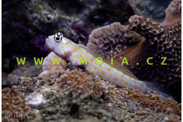 Amblyeleotris guttata  – hlaváč skvrnitý