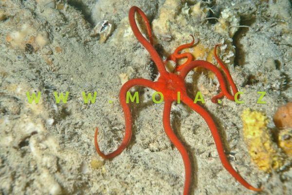 "Ophioderma squamosissima ""red""- hadice   křehkošupinatá"