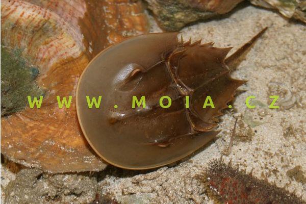 Limulus polyphemus – ostrorep americký