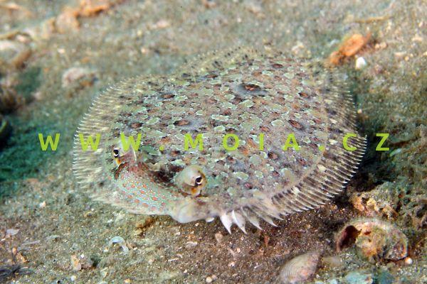 Bothus ocellatus – kambala krožkovaná