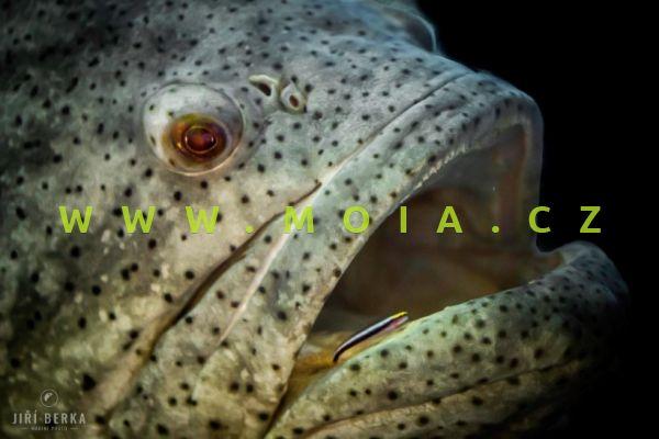 Elacatinus oceanops – hlaváč čistící
