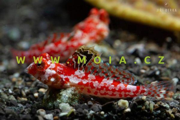 Synchiropus stellatus  – vřeténka očkatá