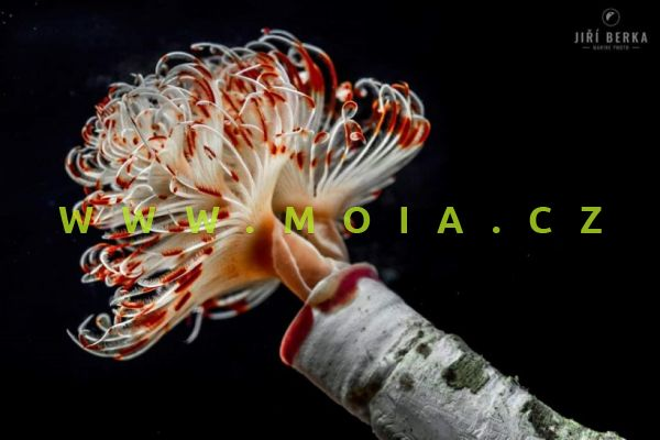 "Protula bispiralis ""red-white""- rournatec péřový"