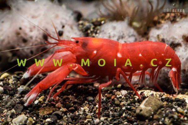 Alpheus fasqueli  – kreveta    Fasquelova