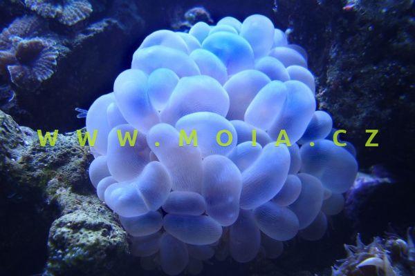Plerogyra sinuosa – turbinatka lištovitá