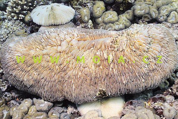 Herpolitha limax – houbovník slimákovitý
