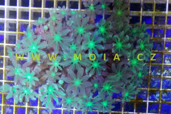 Clavularia viridis  - stolon zelený