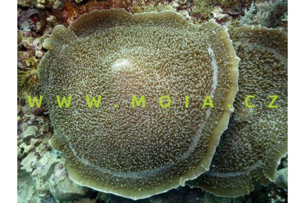 "Amplexidiscus fenestrafer ""blue"" – korálovník barierový"