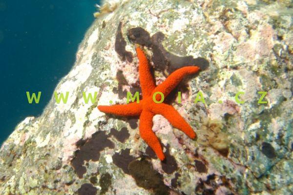 """Echinaster luzonicus """"ultra red"""" – hvězdice  červená"""