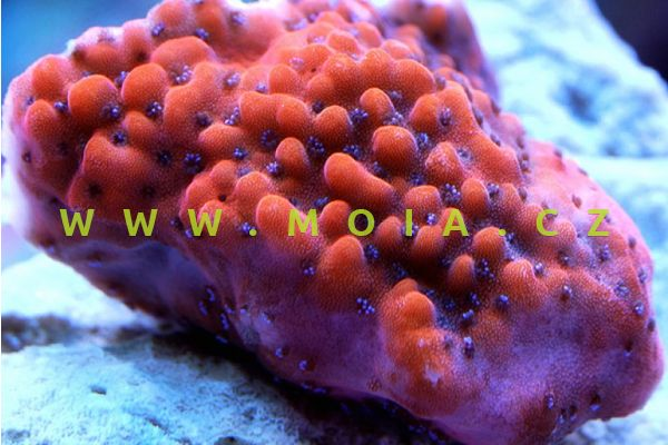 "Montipora undata ""red"" - montipóra vlnkovaná"