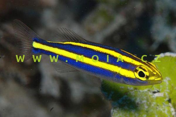 Pentapodus aureofasciatus  - špičatník zlatopruhý