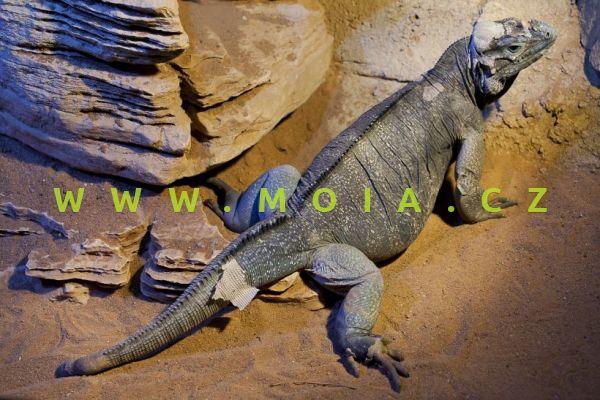 Cyclura cornuta – leguán nosorohý