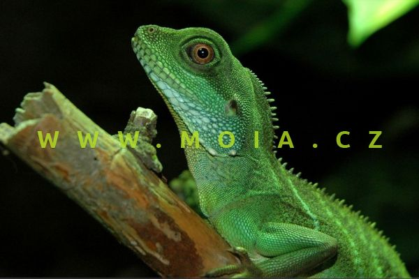 Physignathus cocincinus – agama kočinčínská