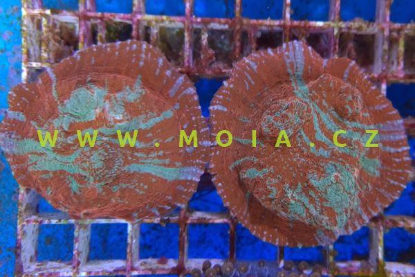 "Echinophyllia patula ""extrem color R-B"" – papírník   rozkladitý"