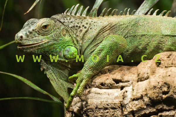 Iguana iguana – leguán zelený