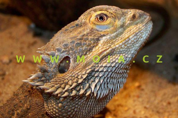 Pogona vitticeps – agama vousatá
