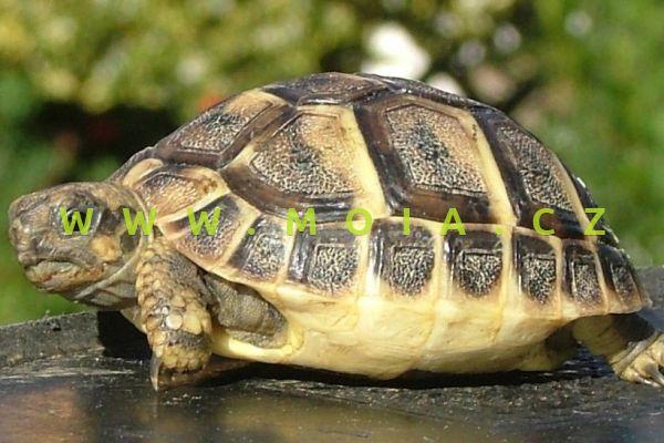 Testudo hermanni – želva zelenavá
