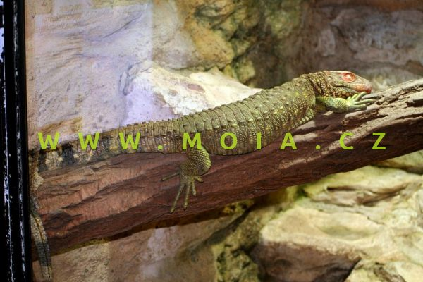 Dracaena guianensis – dracena guyanská